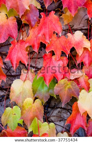 Colorful ivy leaves in the fall