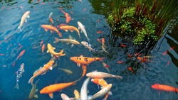 Colorful Japanese Carp fish ( Nishikigoi ) in a lovely Koi pond of a garden in Kyoto, Japan ~ A brilliant image of vibrant Chinese Fancy Carp fish swimming merrily next to aquatic plants in a Koi pond