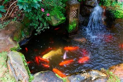 Colorful Japanese Koi Carp fish swimming merrily next to a small cascade in a lovely pond in a garden in Kyoto, Japan