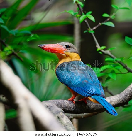 Colorful Kingfisher bird, Stork-billed Kingfisher (Pelargopsis capensis) (formerly Halcyon capensis), standing on a branch