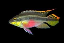 Colorful kribensis or purple cichlid (Pelvicachromis pulcher) isolated on black