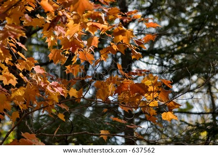 Colorful l transparent orange and yellow maple leaves in Quebec forests, Canada  at the peak of fall foliage. Close up on the foreground leaves. Beautiful background