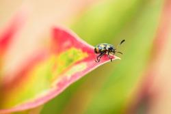 Colorful ladybug on  colorful caladium leaf