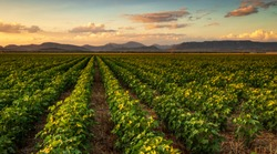 Colorful landscape image of sunset over cotton field with beautiful clouds in the sky