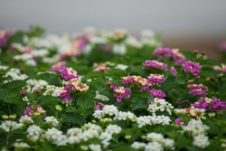 Colorful lantana garden. Selective focus on multicolored flowers at sunshine. Positive emotions.