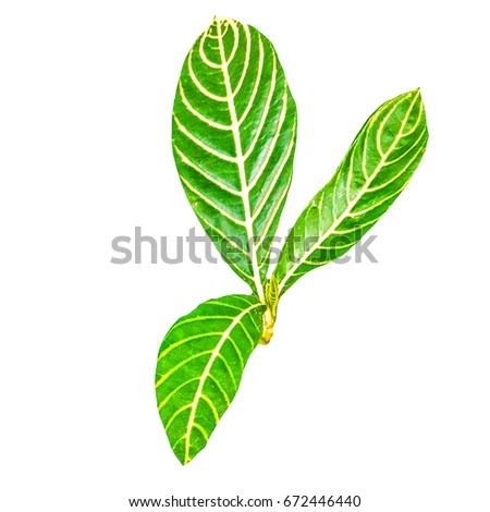 Colorful leaf with bi color #672446440