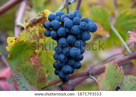Colorful leaves and ripe black grapes on terraced vineyards of Douro river valley near Pinhao in autumn, Portugal, close up Foto stock ©