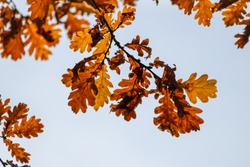 Colorful leaves of an oak shine in beautiful colors in the backlight in fall season infront of a clear sky and show the bright side of autumn with indian summer for fresh air and environmental protect