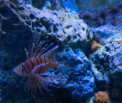 Colorful Lionfish on a tropical coral reef.