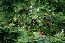 Colorful Lorikeets   at an animal preserve in  Australia.