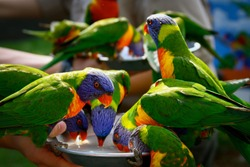 Colorful Lorikeets feeding  at an animal preserve in  Australia.