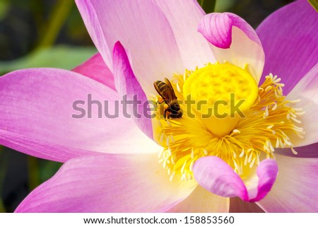 colorful lotus flower and bee closeup