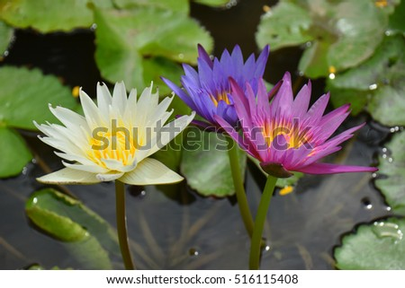 Colorful lotus flower in the pond selective focus ez canvas colorful lotus flower in the pond selective focus mightylinksfo