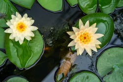 Colorful  lotus flower lily in the pond.