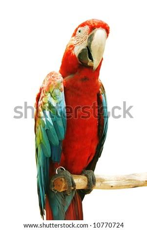 Colorful macau birds isolated on white background