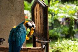 colorful macaw parrot hold and eat ripe mango fruit in spring park garden. Pet animal with natural greenery background.