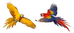 Colorful macaw parrots isolated on white.