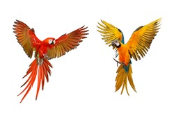 Colorful macaw parrots isolated on white, Scarlet macaw and Blue and gold macaw