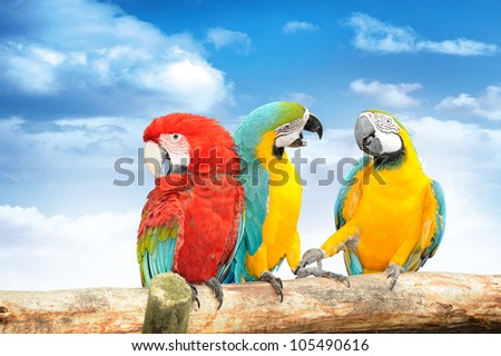 Colorful macaws against the blue sky. Macaws are members of the parrot family.
