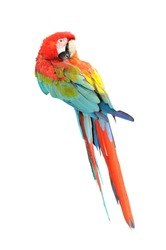 Colorful macaws isolated in white background, Macaws are members of the parrot family.