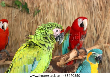Colorful Macaws on the branch