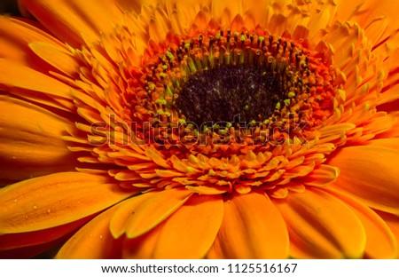 Colorful macro flower gerbera on background #1125516167