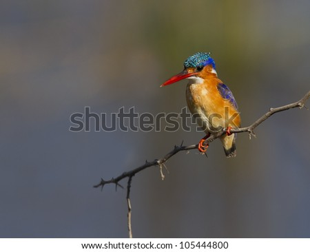 Colorful Malachite Kingfisher against a super Background