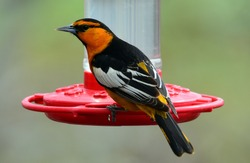 colorful male bullock's oriole perched on a humming bird feeder in broomfield, colorado