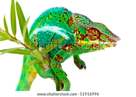 Colorful male Chameleon on plant isolated on white background - Shutterstock ID 51916996