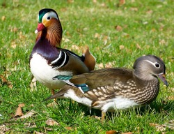 Colorful Mandarin duck couple.