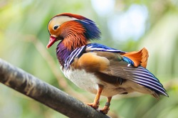Colorful Mandarin duck on wood branch