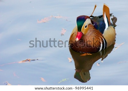 Colorful mandarin duck swimming on a quiet pond