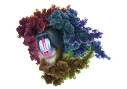 Colorful mandrill baboon face covered in smoke cloud, isolated on white