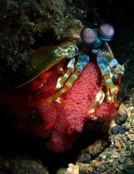Colorful mantis Shrimp with egg amazing underwater photography
