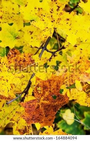 Colorful maple leaves. Autumn theme.