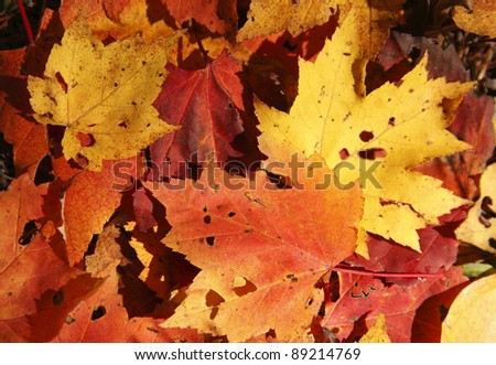 Colorful maple leaves lying on the ground