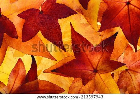 Colorful maple leaves of autumn filling the frame, glowingly illuminated in the studio