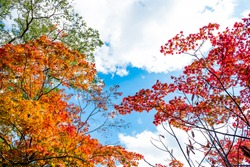 Colorful maple trees in red orange yellow green leaves against clear cloud blue sky background in autumn season, Japan