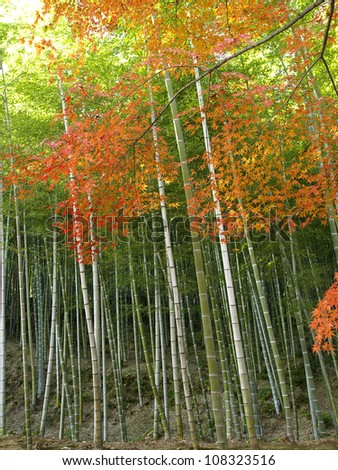 Colorful maples and the bamboo forest at Tenryu-ji Temple in Kyoto