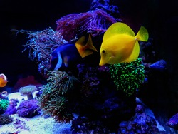 Colorful marine fishes in coral reef aquarium tank