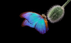 colorful morpho butterfly on a poppy bud in drops of water. poppy bud close-up. butterfly on a flower. copy space