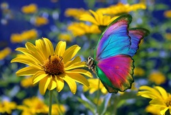 colorful morpho butterfly on yellow chamomile flower in the garden