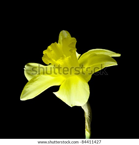 colorful narcissus isolated on black