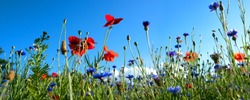 Colorful natural flower meadows landscape with blue sky in summer. Habitat for insects, wildflowers and wild herbs on a flower field. Background panorama with short depth of focus and space for text.