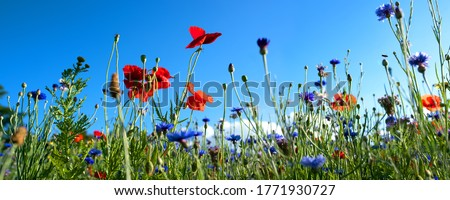 Colorful natural flower meadows landscape with blue sky in summer. Habitat for insects, wildflowers and wild herbs on a flower field. Background panorama with short depth of focus and space for text. stock photo