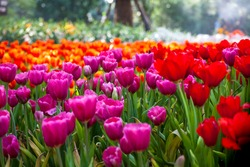 Colorful of beautiful tulip garden in spring.