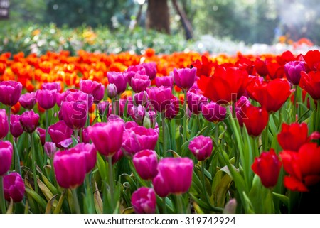 Colorful Of Beautiful Tulip Garden In Spring Stock Photo