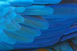 Colorful of blue and gold bird's feathers, exotic nature background and texture