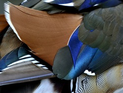 Colorful of brown black and blue background and texture of Mandarin duck (aix galericulata) feathers, exotic nature texture