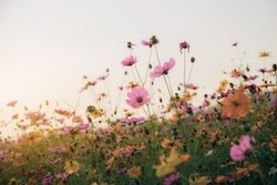 Colorful of cosmos in field with the sunset at sky.